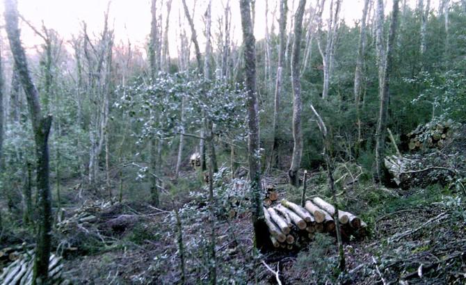 Labores de clareos en hayedos. Monreal 2011