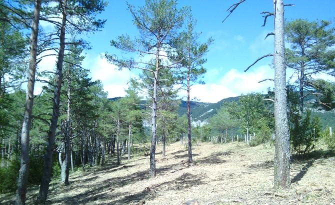 Estado final de cortafuegos tras clareos, poda de ramas bajas y desbroces. Arce 2014