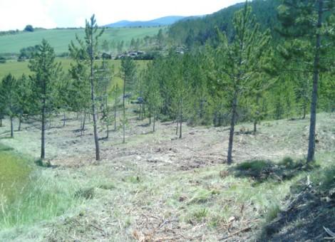 Estado final de área cortafuegos tras clareos, podas de ramas bajas y desbroces