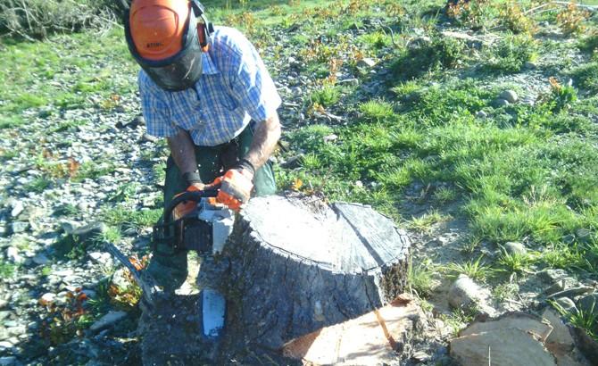 Cortey previo de rodaja de madera de tocones de chopos. Lumbier 2015