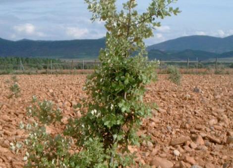Repoblacion de quercíneas productora de Tuber melanosporum. Lumbier 2014